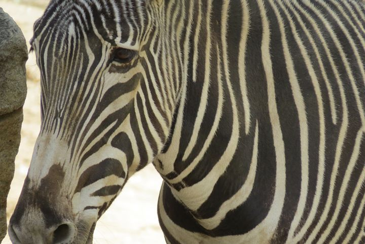 Zebra close up - Kevin Van Parys