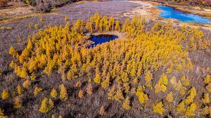 Tamarack Trees over the Bog