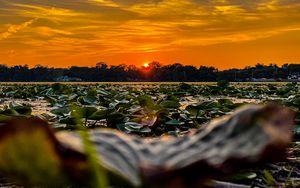 Sunset over Lily pads