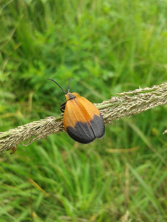beetle prince - planetart