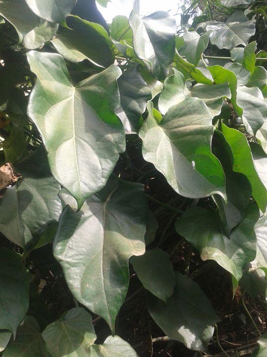 leafs - planetart