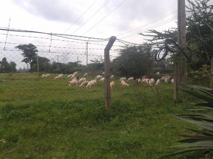 grazing goats - planetart