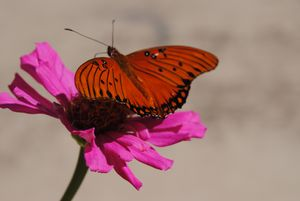 Pollinator in Pink