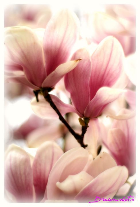 Spring Magnolia blossom - Dreamshots  Art and Photography