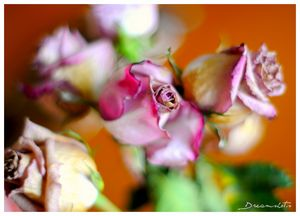 Dried Roses Photography