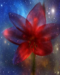 Star Amaryllis digital photography