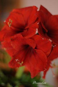 Close up photography red amaryllis