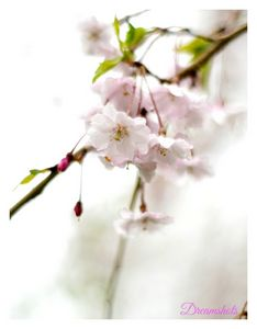 Cherry blossom spring photograpy