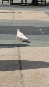 Pigeon of the Shadow