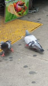 Pigeons of New York