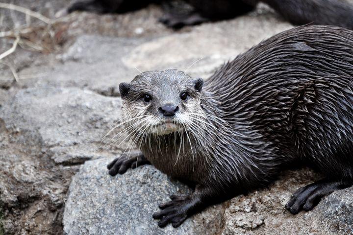 Otter Stare - Lubit Arts