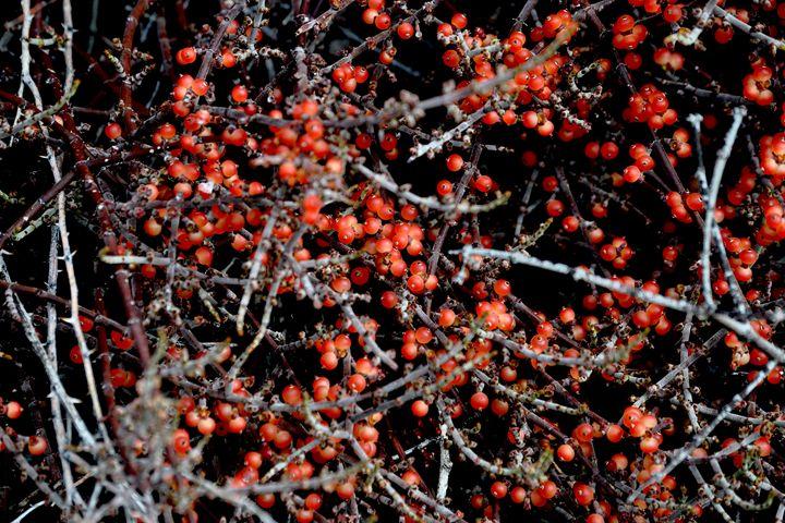 Berry Bramble - Lubit Arts