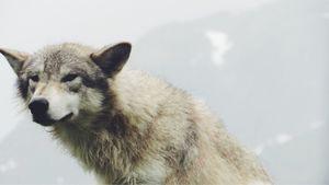 Alaskan Grey Wolf