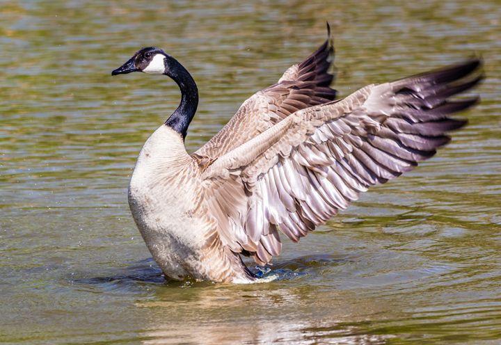 Swan taking off - Jeremy Carpenter