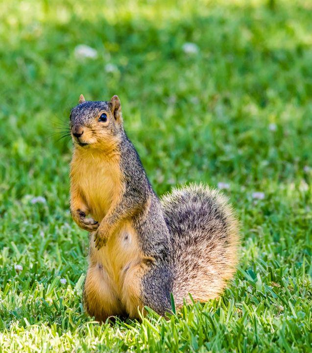 A curious Fox Squirrel - Jeremy Carpenter