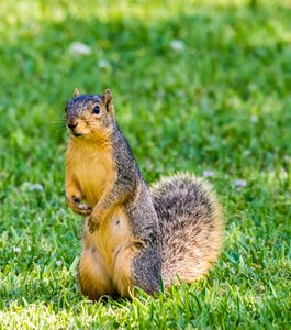 A curious Fox Squirrel
