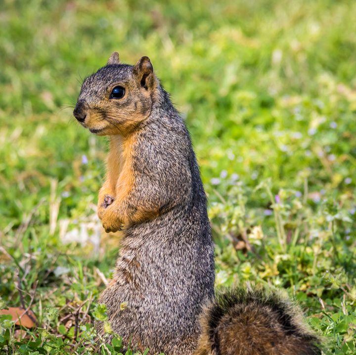 A pensive Fox Squirrel - Jeremy Carpenter