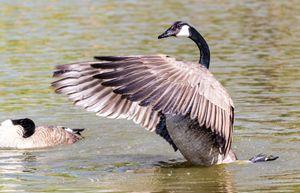 Swan in flight - Jeremy Carpenter