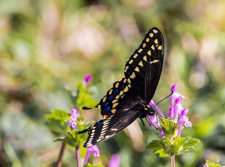 Monarch Butterfly - Jeremy Carpenter