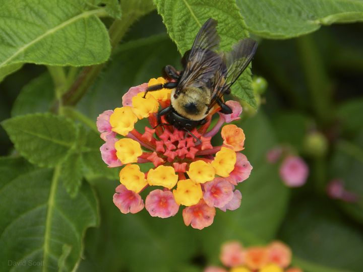 Busy Bee - David Scott