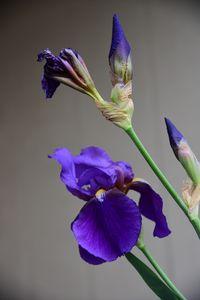 Iris - Elena Zapassky