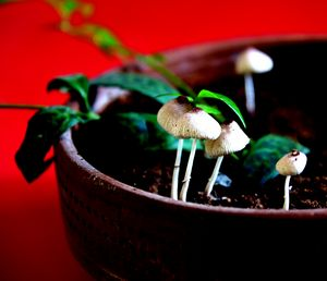 Mushrooms in plant pot
