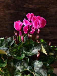 Pink Cyclamen - Elena Zapassky