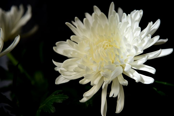 Chrysanthemum - Elena Zapassky