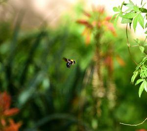 Bumblebee in the garden - Elena Zapassky