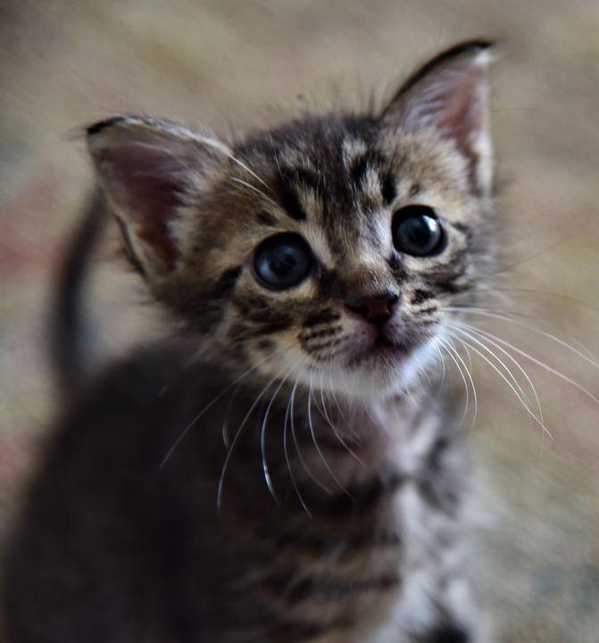 Kitten - Elena Zapassky