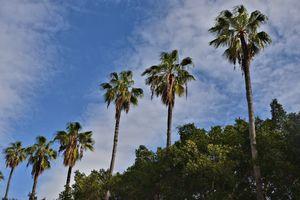 Jaffa's palm trees