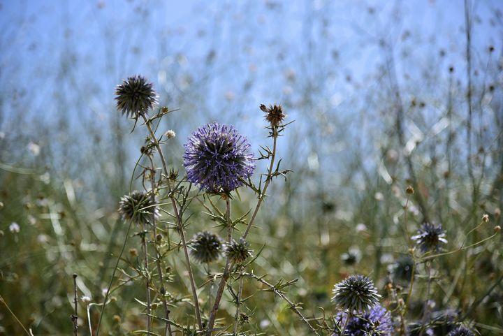 Summer field in Israel - Elena Zapassky