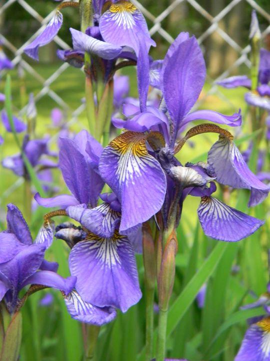 Siberian Iris - Kimberely Martin