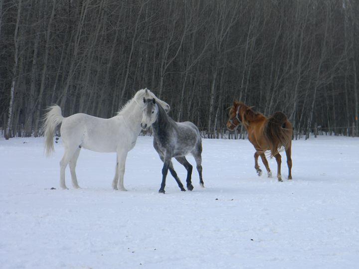 Winter horses playing - Kimberely Martin