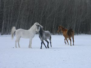 Winter horses playing