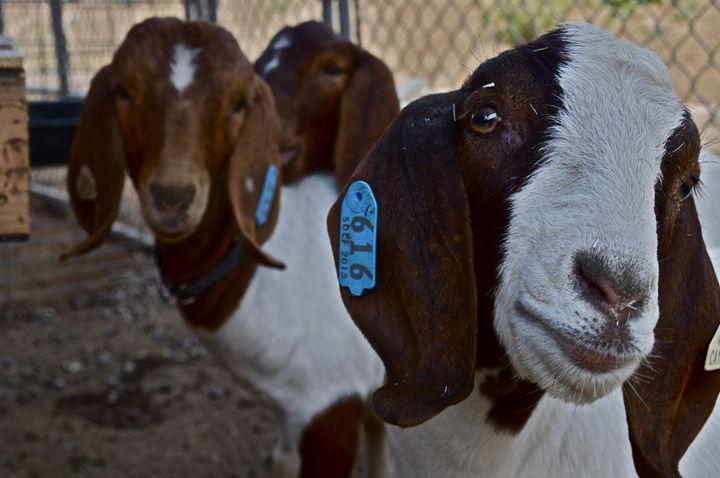 Goats - Austin Okeson