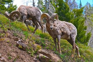 Bighorn Sheep Snack