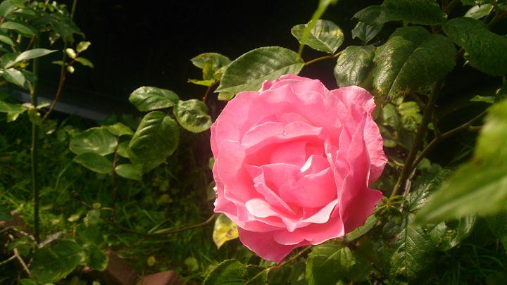 Pink Rose - G3Pics