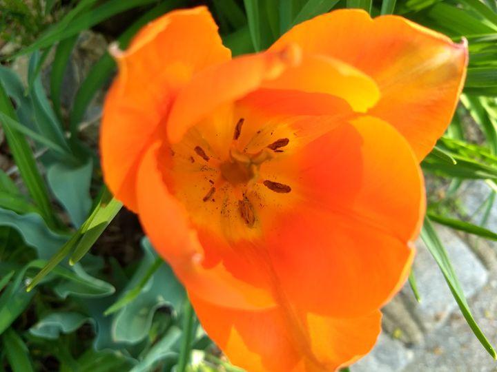 Orange Tulip - G3Pics