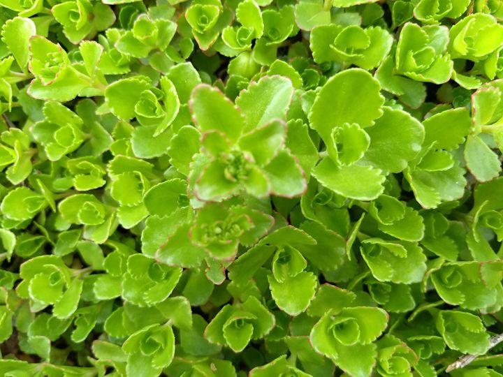 Green roses - G3Pics