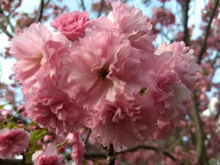 Pink flowers - G3Pics