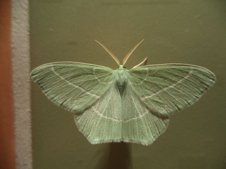 Green Butterfly 1 - Anesta Exena Photography