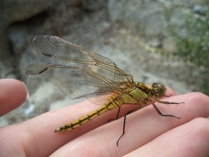 Dragonfly 1 - Anesta Exena Photography