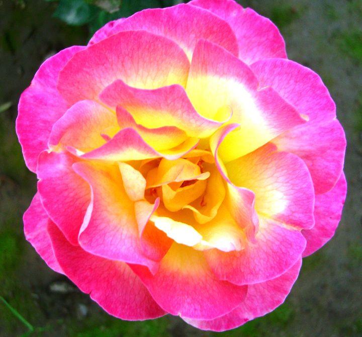 Rose: Perfect Blossom - EndLocalHunger