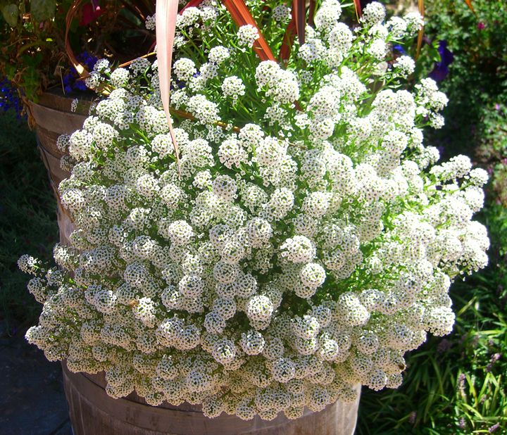 Natures's Bounty Candytuft - EndLocalHunger