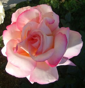 Rose Translucent