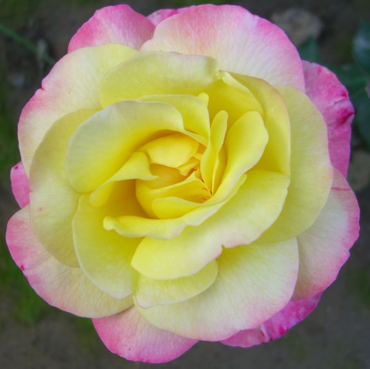 Pink and Yellow Rose - EndLocalHunger