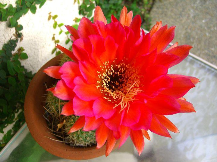 Cactus Flower - EndLocalHunger