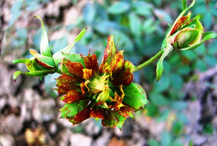 Green Rose - EndLocalHunger