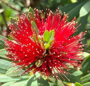 Red crimson bristlebrush